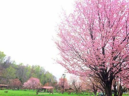 吹き出し公園桜.jpg