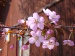エリア内にある桜.jpg