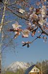 桜(ブログ).jpg