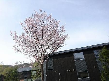 泉郷桜.JPG