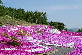 mishima sakura.jpg